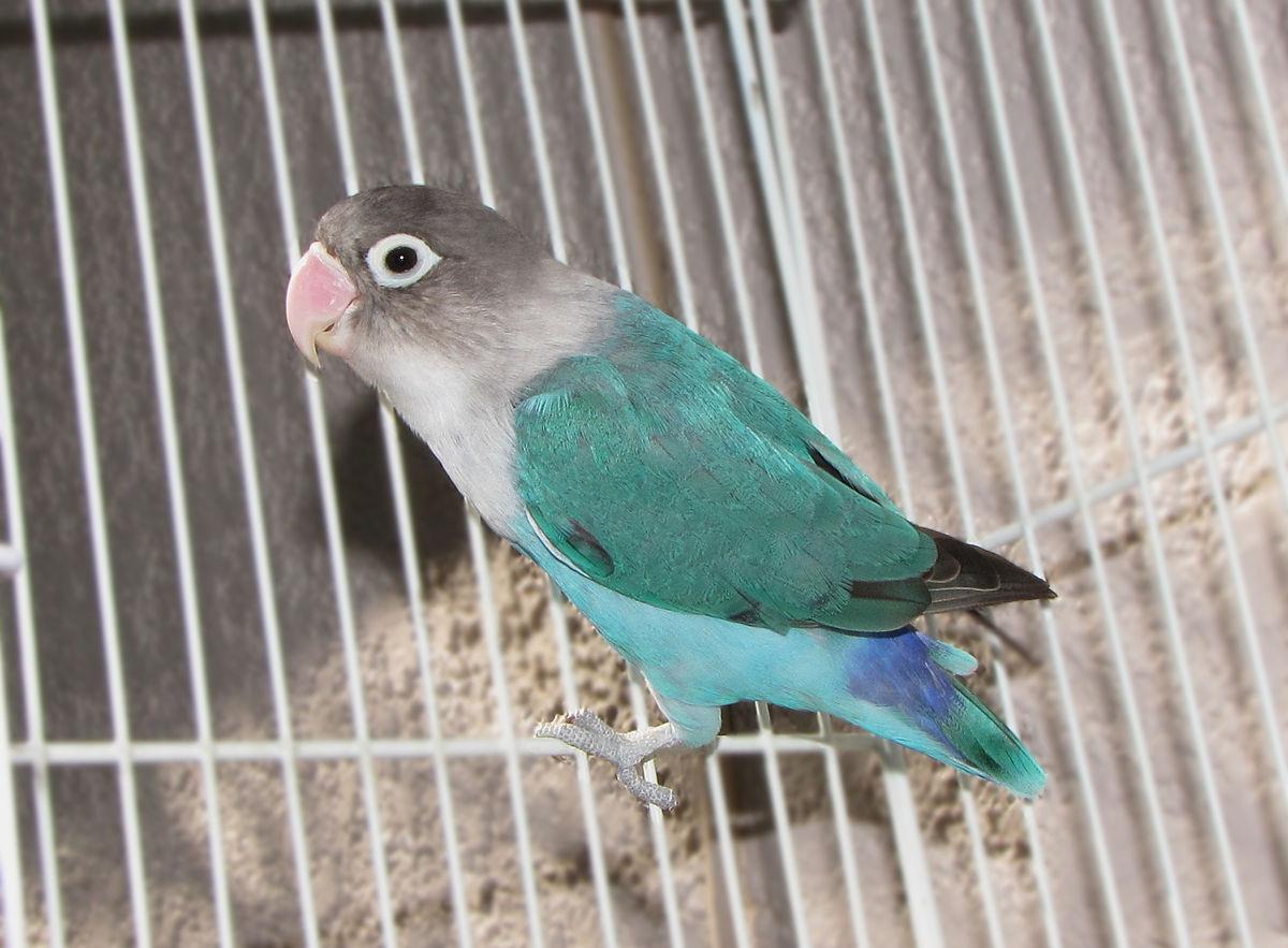 Agapornisul, un papagal veșnic îndrăgostit