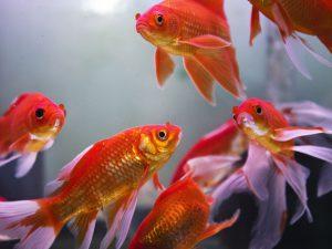 Primii pesti in acvariu