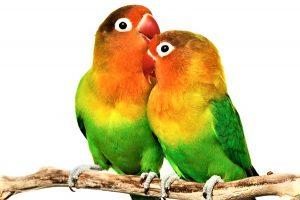Agapornis- Papagalul   Amorez