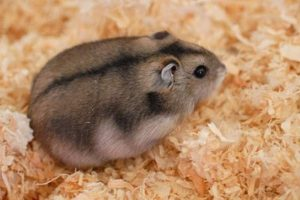 Un bulgãraş simpatic, hamsterul pitic rusesc