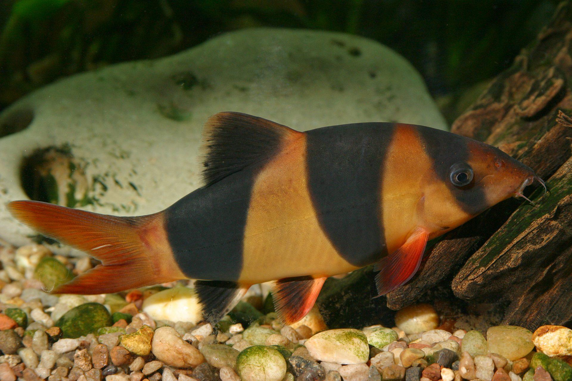 Peşti din Asia de Sud-Est